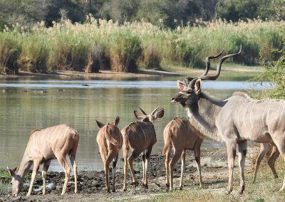 Herd Of Greater Kudu At Lake Panic Bird Hide