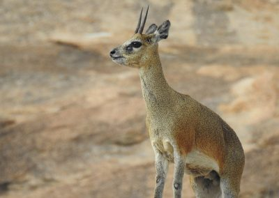 Klipspringer On A Hilltop On The S10