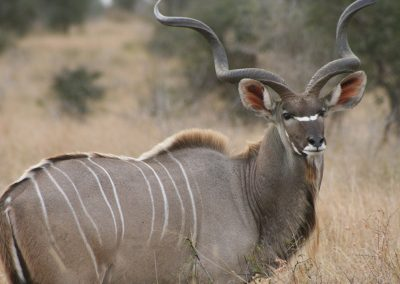 Kruger-National-Park-Animals-Kudu