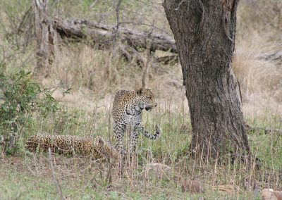 Kruger National Park Animals Leopard