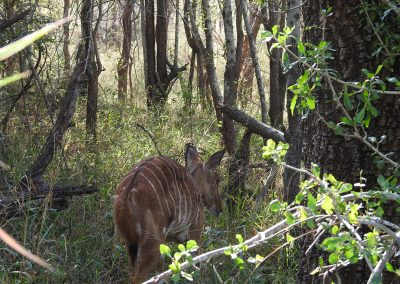 Nyala Female Outside Lake Panic Bird Hide