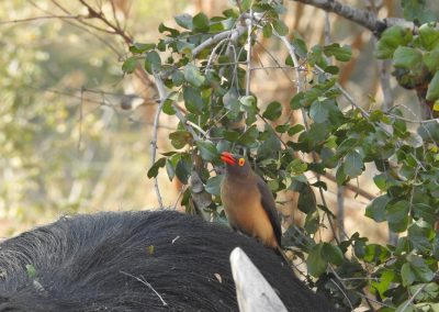 Red-billed Oxpecker Sitting On A Buffalo