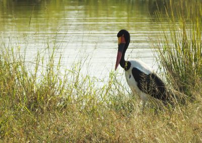 Saddle-billed Stork At Waterhole On the H3