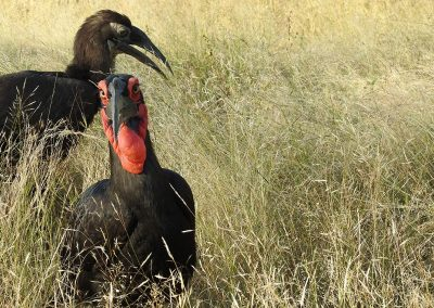 Southern Ground Hornbill On The H3