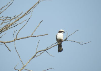 Southern White-crowned Shrike On The S3