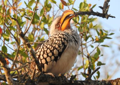 Southern Yellow-billed Hornbill At Afsaal