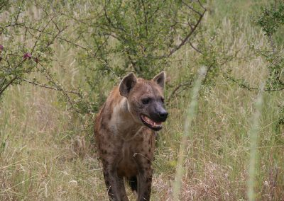 Spotted Hyena Kruger National Park