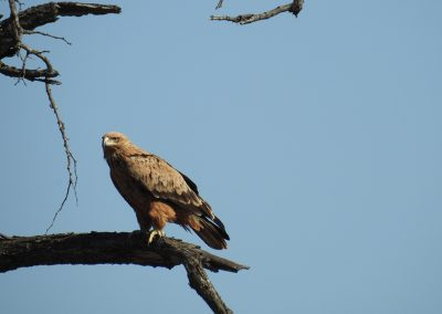 Tawny Eagle On The H3