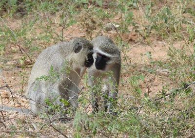 Two Vervet Monkeys Looking At Each Other