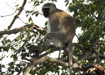 Vervet Monkey Sitting In A Tree near the Sabie River