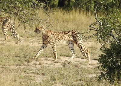Young Cheetah On The Move On the H3