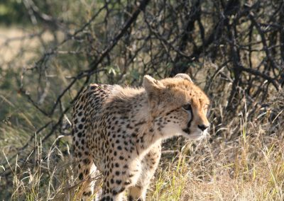 Young Sub Adult Cheetah On the H3
