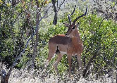 Impala Outside Malelane Camp