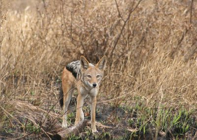 Kruger National Park Black Backed Jackal