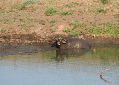 African Buffalo And Water Thick Knee Berg-en-dal Rest Camp
