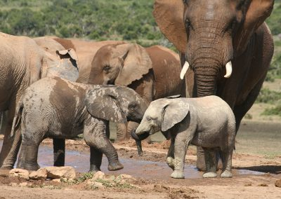 Baby Elephants Playing Addo Elephant National Park