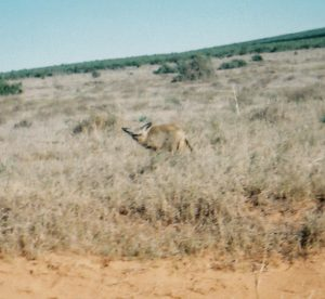 Bat-eared Fox In The Addo Elephant National Park