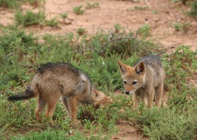 Black-backed Jackal Cubs Addo Elephant National Park