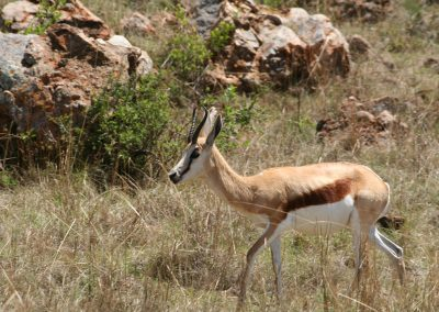 Common Springbok In The Highveld