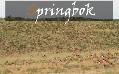 Common Springbok