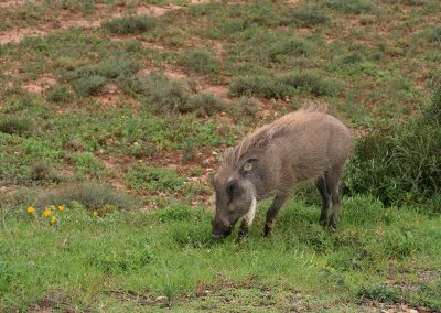 Common Warthog Grazing Addo Elephant National Park