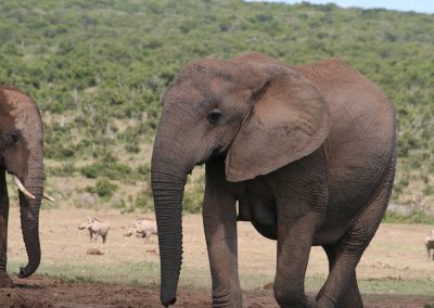 Female Addo Elephant