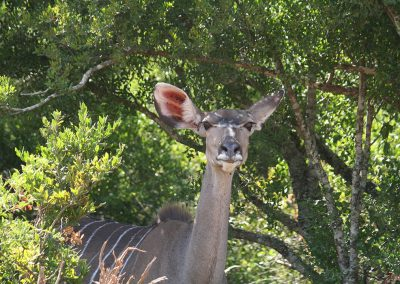 Greater Kudu In The Thickets Of The Addo Elephant National Park