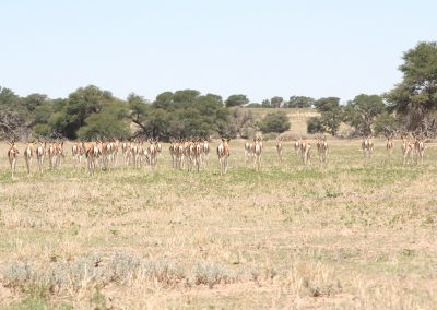 Springbok Herd In The Kalahari