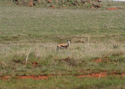 Springbok In The Distance