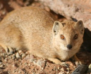 Yellow Mongoose At Twee Rivieren Rest Camp