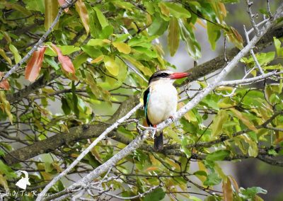 Brown Hooded Kingfisher Lake Panic Bird Hide