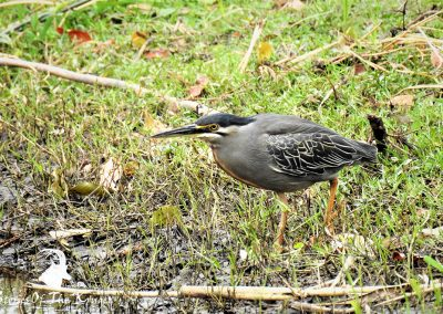 Green Backed Heron At Lake Panic Bird Hide