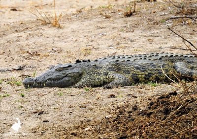 Nile Crocodile At Lake Panic Bird Hide
