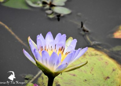 Purple Water Lily At Lake Panic