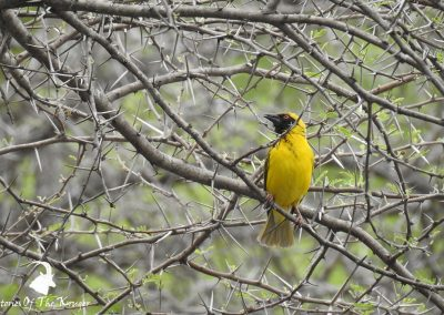Southern Masked Weaver Lake Panic Bird Hide