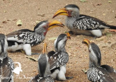 Southern Yellow Billed Hornbills At Afsaal