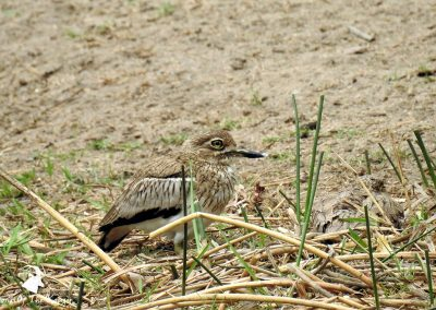 Water Thick Knee (Dikkop) At Lake Panic