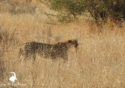 African Cheetah In Long Dry Grass