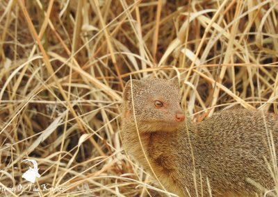 Amazing Photo Of A Slender Mongoose On The H7