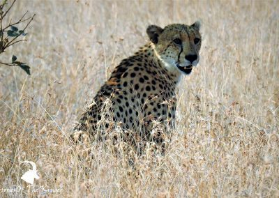 Cheetah Close To Satara