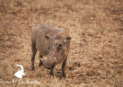 Common Warthog On The H7 Kruger Park
