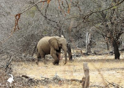 Juvenile African Elephant On The H1-2