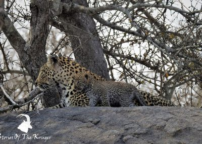Leopard Mom And Cub Kruger National Park
