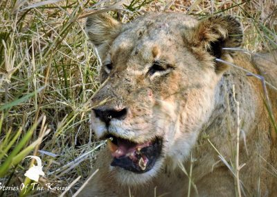 Lioness On Kill At Nsemani Dam Kruger Park