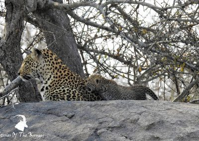 Mother Leopard And Cub On The S36