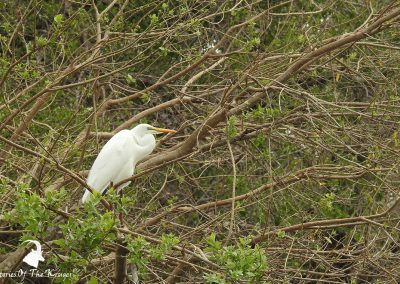 Non Breeding Western Cattle Egret Kruger National Park