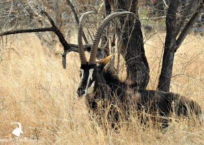 Sable Antelope Bull On The H1-2- Kruger Park