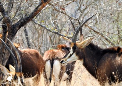 Sable Antelope Female Herd On The H1-2