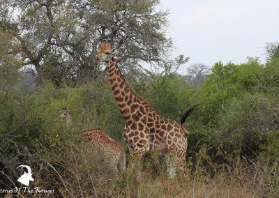 Southern Giraffe On Way To Tshokwane