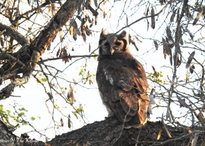 Verreaux's Eagle Owl On The H7 Kruger National Park